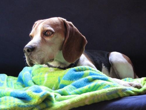 daks_the_beagle