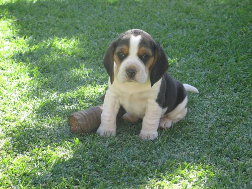 beagle_5_weeks
